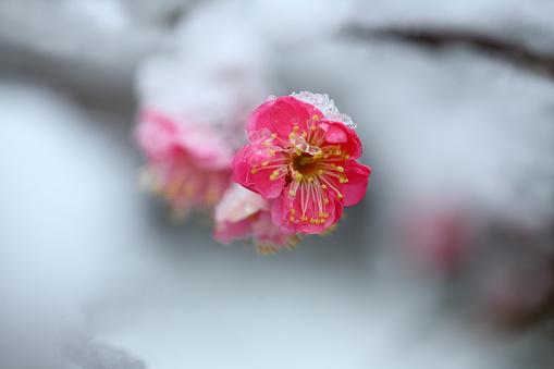 梅の花「Red Plum Blossom in Snow」:スマホ壁紙(10)