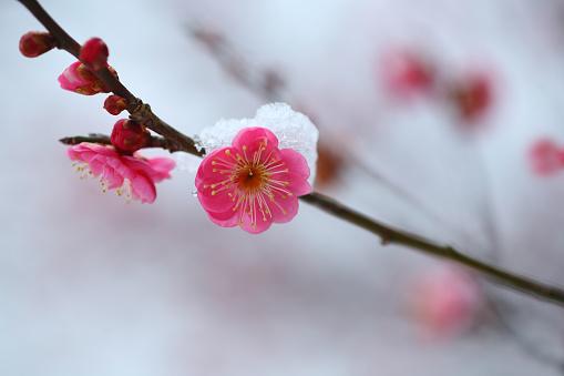 梅の花「Red Plum Blossom in Snow」:スマホ壁紙(19)