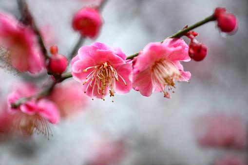 梅の花「Red Plum Blossoms」:スマホ壁紙(5)