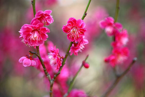 Red plum blossoms:スマホ壁紙(壁紙.com)