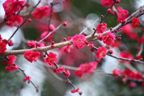 梅の花「Red plum blossoms」:スマホ壁紙(19)