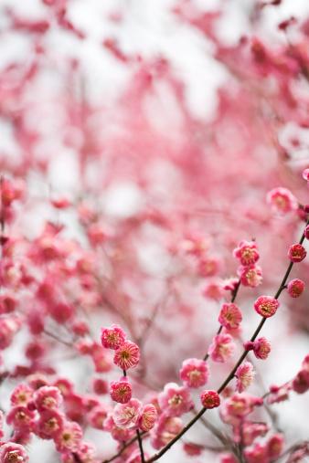 梅の花「レッド梅の花」:スマホ壁紙(9)