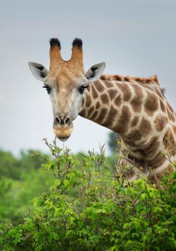 Giraffe「Inquisitive giraffe  (Giraffa camelopardalis).」:スマホ壁紙(3)