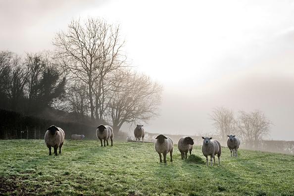 Rustic「Inquisitive Sheep」:写真・画像(2)[壁紙.com]