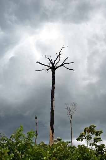 Amazon Rainforest「Brazil, Para, Amazon rainforest, slash and burn, dead brazil nut tree」:スマホ壁紙(1)