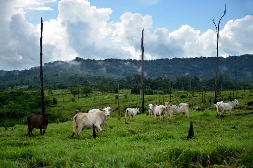 Amazon Rainforest「Brazil, Para, Amazon rainforest, Itaituba, slash and burn, cleared, cows on pastureland」:スマホ壁紙(16)