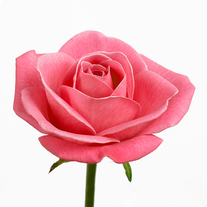 薔薇「Coral pink rose on white in square format」:スマホ壁紙(14)