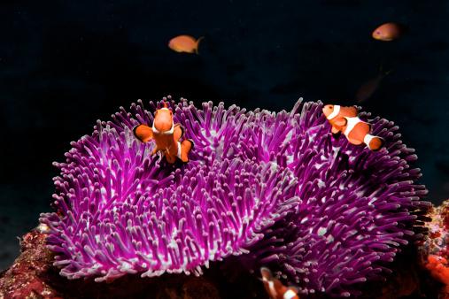 Clownfish「clownfish, clown fish (Amphiprion Ocellaris)」:スマホ壁紙(11)