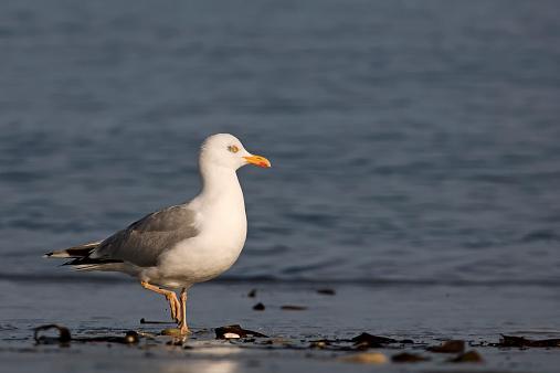 Herring Gull「Germany, Helgoland, European herring gull」:スマホ壁紙(13)