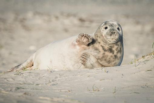 Animal Fin「Germany, Helgoland, grey seal pup lying on the beach」:スマホ壁紙(13)