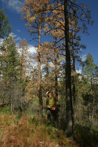 Plant Bark「Bark Beetles Infest New Mexico's Forests」:写真・画像(15)[壁紙.com]