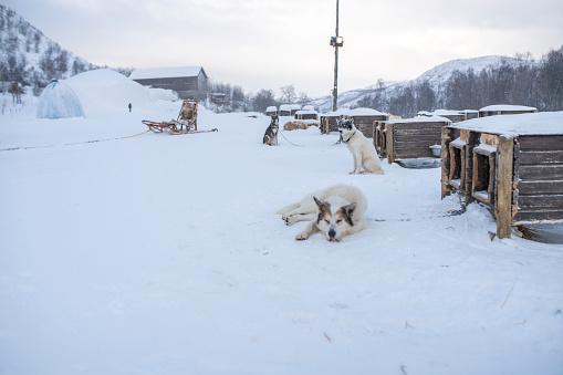 Sled「Huskies resting in snow,Kirkenes,Norway」:スマホ壁紙(15)