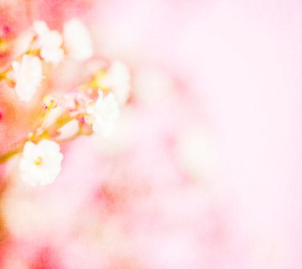 春「繊細なかすみ草」:スマホ壁紙(9)