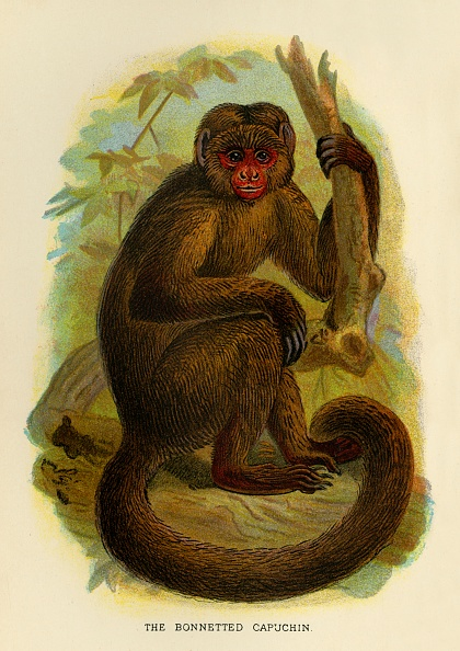 Animal Body Part「The Bonneted Capuchin」:写真・画像(3)[壁紙.com]