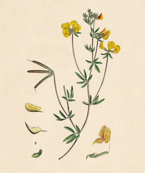 Uncultivated「Lotus Tenius. Slender Birds-Foot Trefoil, 1」:写真・画像(7)[壁紙.com]