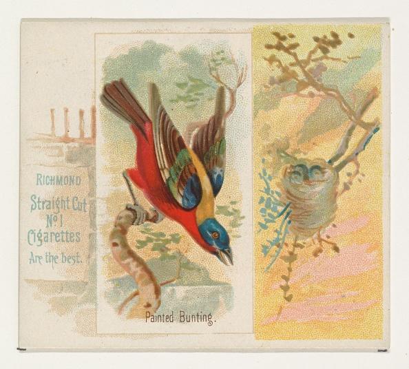 Songbird「Painted Bunting」:写真・画像(18)[壁紙.com]