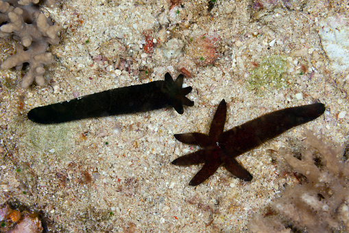 Arafura Sea「Starfish regenerate lost arms, Indonesia」:スマホ壁紙(9)