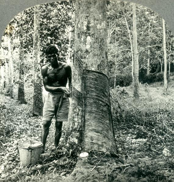 Tropical Tree「Ona Large Rubber Tree Plantation Near Suva」:写真・画像(13)[壁紙.com]