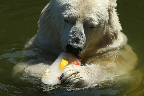 Polar Bear「People And Animals Cool Off From Heat Wave」:写真・画像(7)[壁紙.com]