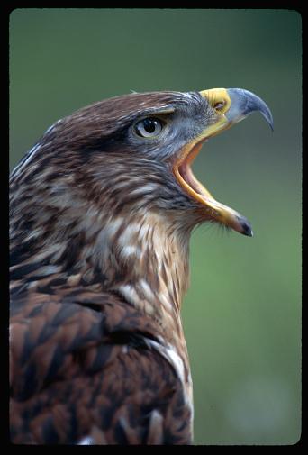 Hawk - Bird「Ferruginous Hawk Profile With Open Beak」:スマホ壁紙(12)