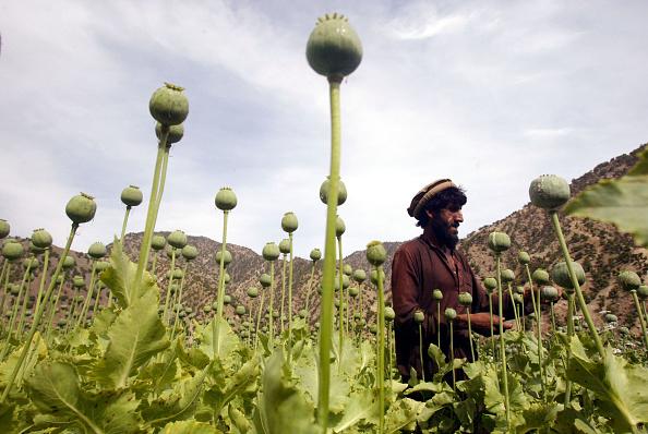 Bagram「Poppy Fields in the Tora Bora Region of Afghanistan」:写真・画像(9)[壁紙.com]