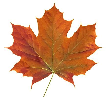 Maple Syrup「Orange Maple Leaf」:スマホ壁紙(18)