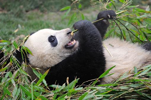 Szechuan Cuisine「Bifengxia Panda Base」:スマホ壁紙(3)