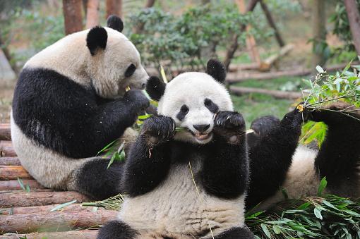 Eating「Bifengxia Panda Base」:スマホ壁紙(7)