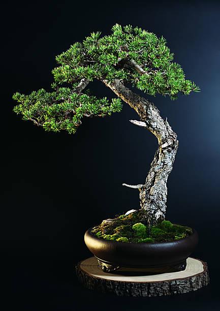 Pine tree bonsai:スマホ壁紙(壁紙.com)