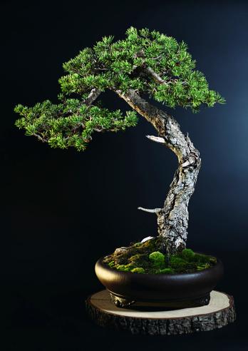 Saturated Color「Pine tree bonsai」:スマホ壁紙(8)