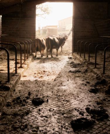 草食性「jersey cows leaving barn」:スマホ壁紙(16)
