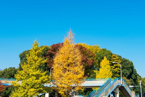 紅葉「Colorful autumn leaves trees stand and surround the elevated pedestrian bridge under the clear blue sky at Harajuku Jingumae Shibuya Tokyo Japan on November 26 2017.」:スマホ壁紙(17)