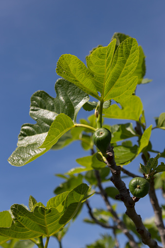 イチジク「Fig tree in the Algarve」:スマホ壁紙(0)