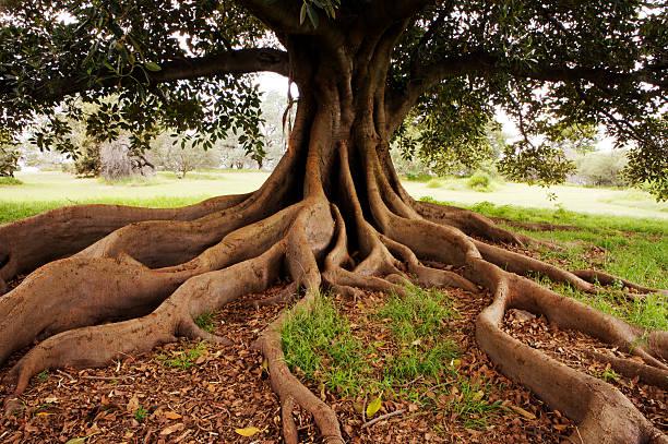 Fig tree in Queens Park.:スマホ壁紙(壁紙.com)
