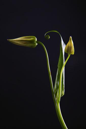 flower「Bud of lily」:スマホ壁紙(15)