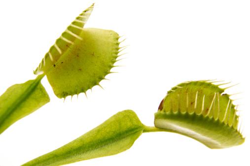 Carnivorous「Venus flytrap (Dionaea muscipula) leaf, close-up」:スマホ壁紙(11)