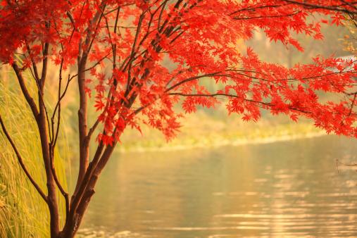 紅葉「アメリカハナノキさらに川」:スマホ壁紙(8)