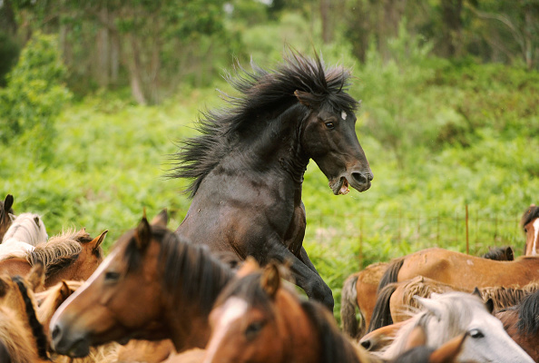 Horse「Wild Horses Are Rounded Up For Rapa Das Bestas」:写真・画像(18)[壁紙.com]