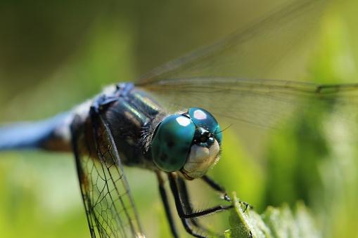 とんぼ「Close-up view of dragonfly on leaf (Anisoptera)」:スマホ壁紙(6)