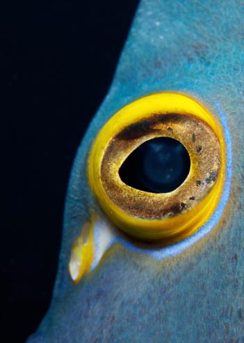 Iris - Eye「Close-up view of a French Angelfish eye.」:スマホ壁紙(7)