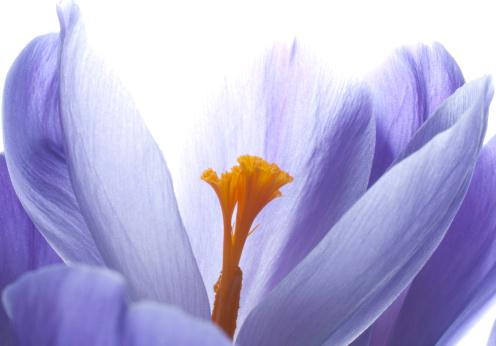 Crocus「Close-up view of a blooming crocus」:スマホ壁紙(2)