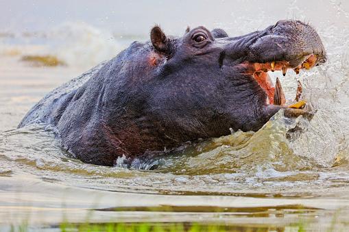 カバ「Close-up view of bull hippo on edge of river bank with mouth wide open displaying aggression, Okavango Delta,Botswana」:スマホ壁紙(11)