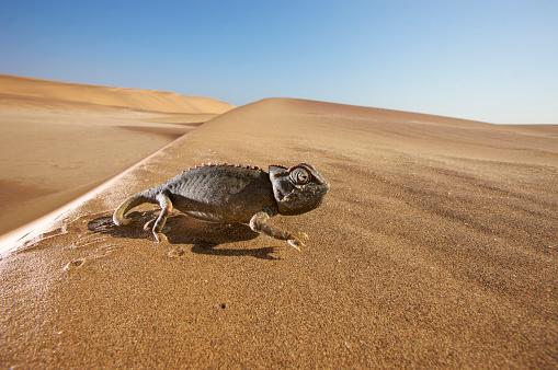 Walking「Close-up view of Namaqua Chameleon (Chamaeleo namaquensis) walking through desert, Namib Desert, Namibia」:スマホ壁紙(0)