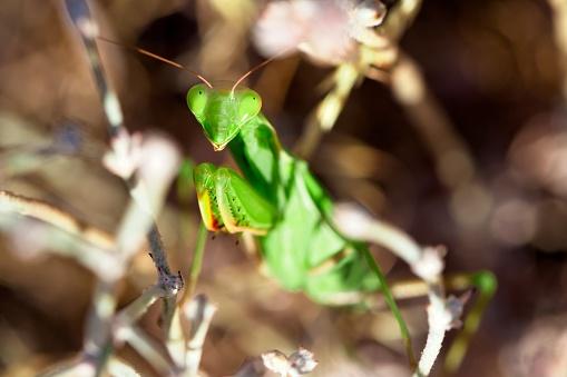 虫・昆虫「Close-up view of praying mantis (Mantodea)」:スマホ壁紙(3)