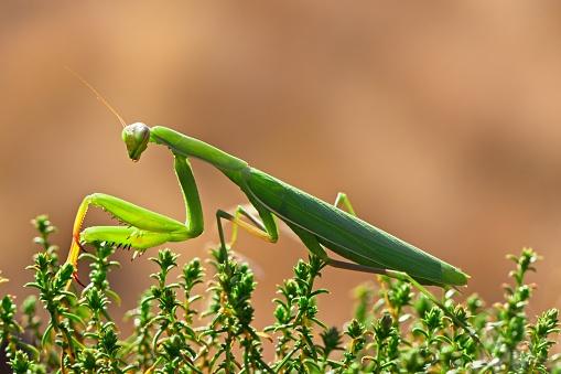 虫・昆虫「Close-up view of praying mantis (Mantodea)」:スマホ壁紙(2)