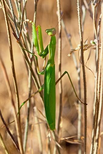虫・昆虫「Close-up view of praying mantis (Mantodea)」:スマホ壁紙(1)