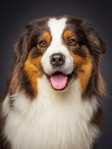 朗らか「純血種のオーストラリアン シェパードの犬」:スマホ壁紙(1)