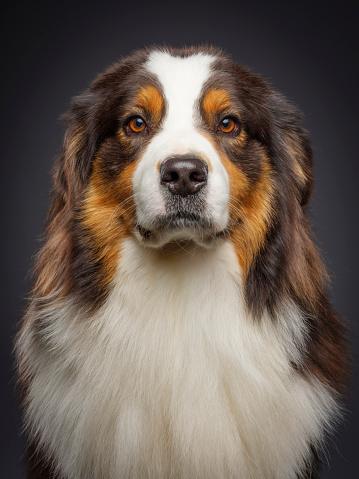 Looking At Camera「Purebred Australian Shepherd Dog」:スマホ壁紙(6)