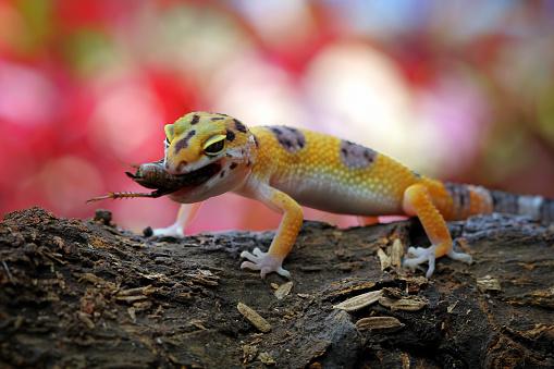 Eating「Leopard gecko eating a cricket」:スマホ壁紙(17)
