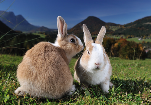 Rabbit - Animal「Easter Bunnies Whispering」:スマホ壁紙(11)